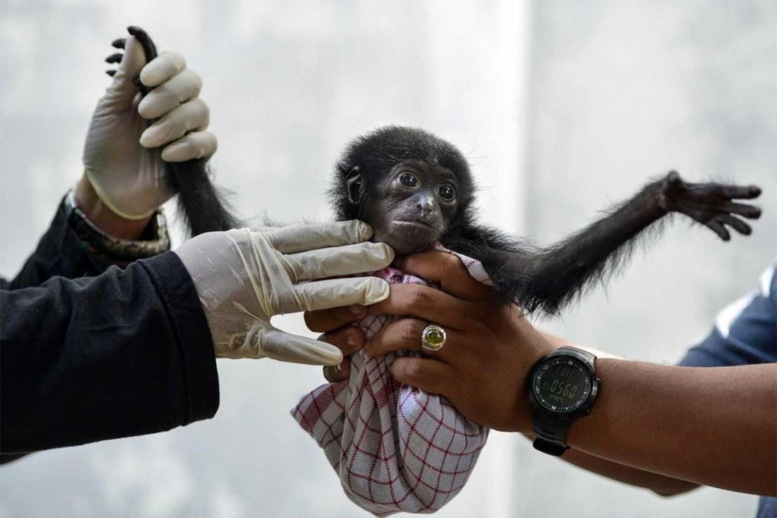 Saat diamankan, bayi siamang tersebut dalam kondisi yang kritis, sehingga harus mendapatkan perawatan intensif. AFP Photo/Chaideer Mahyuddin