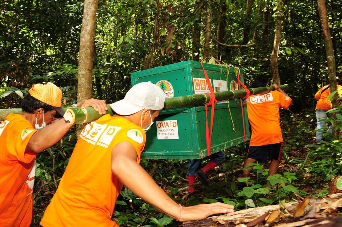 Sejumlah anggota tim Center for Orangutan Protection (COP) membawa kandang berisi Orangutan yang akan dilepasliarkan di Hutan Lindung Sungai Lesan, Kabupaten Berau, Kalimantan Timur.