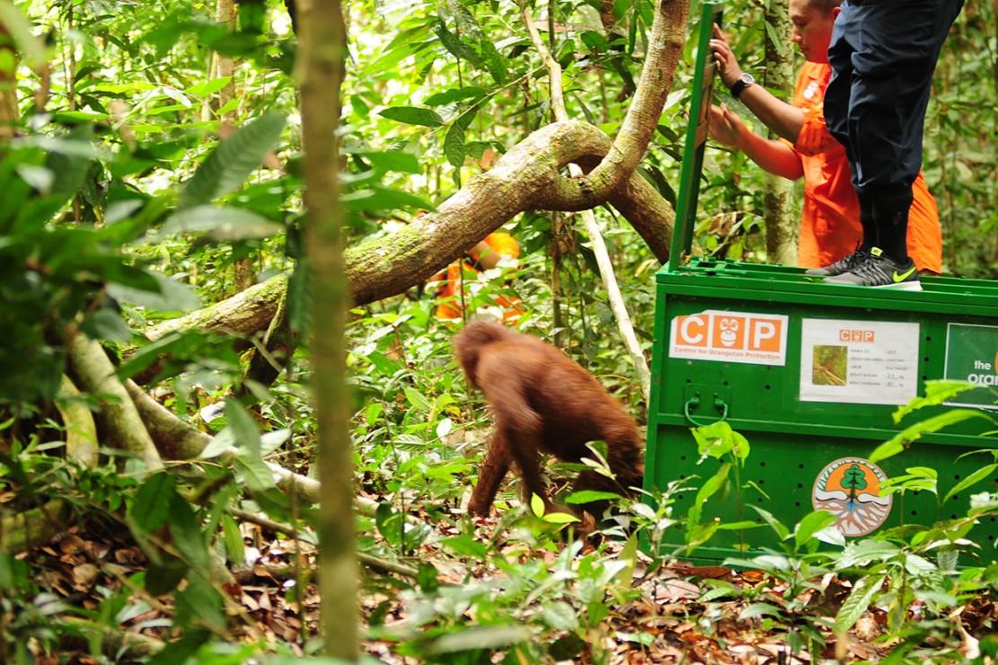 Satu dari dua individu Orangutan keluar dari kandang saat dilepasliarkan di Hutan Lindung Sungai Lesan, di Kabupaten Berau, Kalimantan Timur.