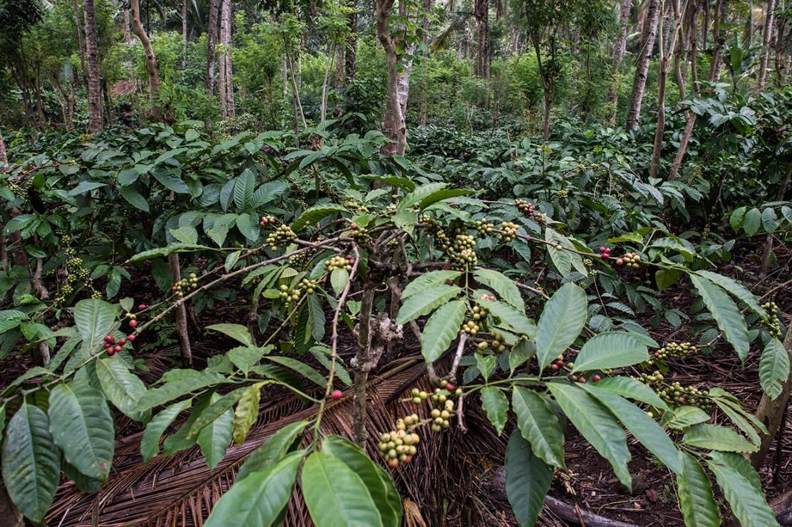 Luas perkebunan kopi rakyat di kawasan Gombengsari sekitar 853 hektar yang terletak di dataran tinggi dengan bentuk tanah berbukit di ketinggian 400-600 meter di atas permukaan laut (mdpl) yang menyebabkan daerah tersebut menjadi penghasil kopi robusta dengan kualitas terbaik.