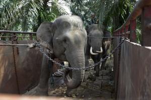 Gajah jinak PLG Saree dengan pawang (mahout) menggiring seekor gajah liar (depan) saat dipindahkan ke habitatnya (translokasi) di Kota Subulussalam, Aceh, Minggu, 9 Desember 2018.