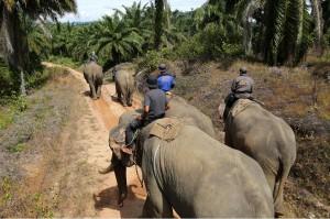 Gajah liar tersebut ditangkap di kawasan perkebunan Desa Tangga Besi, Kecamatan Simpang Kiri, Kota Subulussalam, Aceh, Sabtu, 8 Desember 2018.