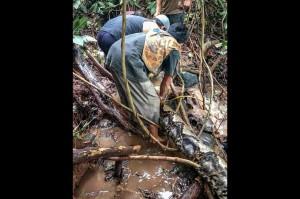 Beberapa warga berusaha menaklukkan ular piton raksasa yang ditemukan di atas air terjun Batu Cincang, Pucuang Anam, Nagaru Tandikek Selatan, Kecamatan Patamuan, Padang Pariaman, Sabtu, 24 November lalu.