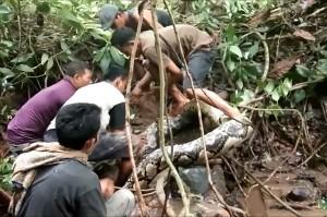 Warga kesulitan menaklukkan ular raksasa tersebut. Dari gambar terlihat lima orang bersusah-payah untuk mengeluarkan ular tersebut dari sarangnya.