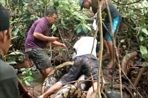 Ular raksasa tersebut ditemukan secara tidak sengaja oleh warga saat membersihkan semak-semak untuk mencari belut di pinggir sungai. Warga sebelumnya mengira ular seberat sekitar 100 kg tersebut kayu gelondongan.