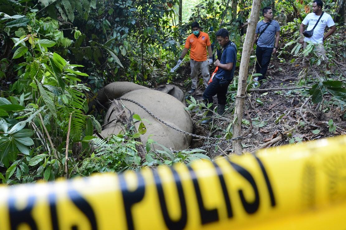Bunta, gajah jinak ditemukan mati dengan gading hilang di Conservation Response Unit (CRU) Serbajadi, Aceh Timur, 9 Juni. Gajah sumatra berusia 37 tahun tersebut diduga mati dibunuh dengan cara diracun oleh pemburu. Antara Foto/Al Mahdi