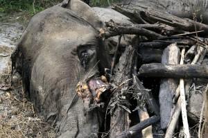 Balai Konservasi Sumber Daya Alam (BKSDA) Aceh menyatakan gajah jantan liar yang ditemukan mati di Desa Pantee Peusangan, Kecamatan Juli, Kabupaten Bireuen, diduga karena infeksi.