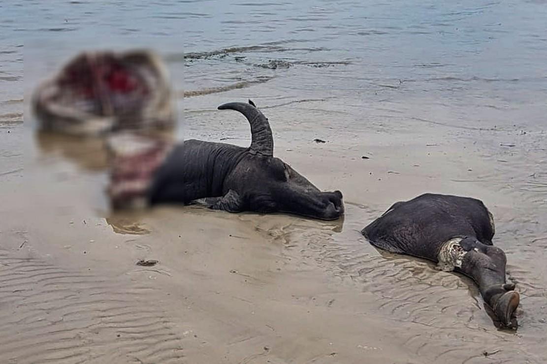 Kerbau yang sudah mati dan dipotong-potong hasil perburuan ilegal berhasil diamankan petugas di Pantai So Toro Wamba, Desa Poja, Kecamatan Sape, Kabupaten Bima.