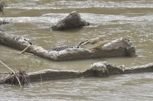 Satwa dilindungi dengan panjang sekitar empat meter itu sudah terjerat ban selama hampir tiga tahun sejak pertama kali terlihat pada 2016 dan hingga kini belum bisa diselamatkan dari jeratan ban tersebut.