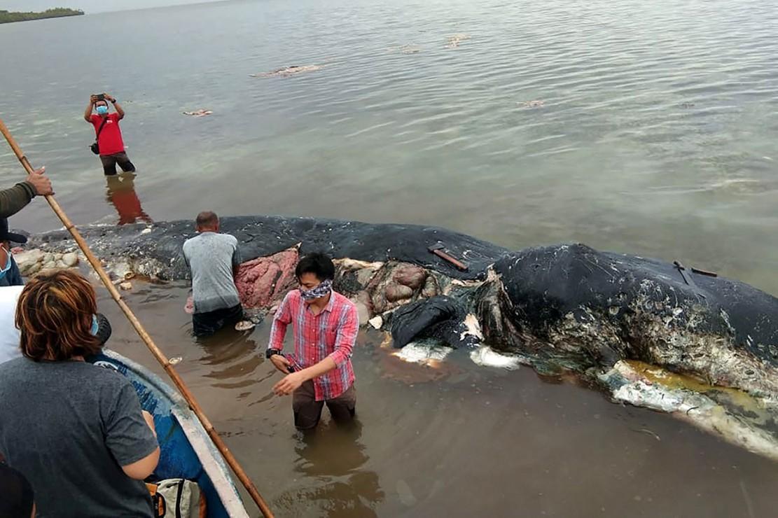 Seekor paus sperma berwarna hitam ditemukan mati di Pulau Wakatobi, Sulawesi Tenggara, Senin, 19 November 2018. Di dalam perut paus sepanjang 9,6 meter itu ditemukan sampah plastik yang jumlah cukup besar yakni sekitar 5,9 kg. Selama setahun terakhir kasus matisnya hewan langka dan dilindungi berulangkali terjadi di berbagai negara, termasuk Indonesia. Afp Photo/ La Ode M. Saleh Hana