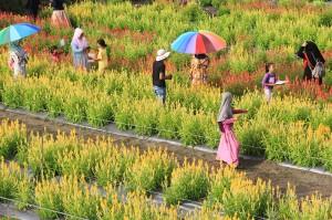 Sejumlah pengunjung berada di kawasan objek wisata taman bunga celocia garden di Desa Alue Pit, Kecamatan Panga, Aceh Jaya, Aceh.