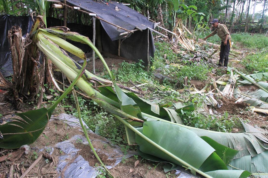 Selain itu puluhan hektare perkebunan warga di desa tersebut juga dirusak kawanan gajah liar. Kejadian tersebut sudah berlangsung sejak satu bulan terakhir.