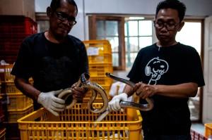 Sebanyak 800 ekor ular Jali hidup diperiksa oleh petugas Balai Besar Karantina Pertanian Surabaya untuk memastikan bebas dari e-coli dan salmonela sebelum diekspor ke Guangzhou, Tiongkok melalui jalur udara.
