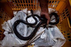 Sebanyak 70 ribu ular jali hidup diekspor ke Tiongkok setiap tahunnya. Ular merupakan salah satu hidangan favorit bagi warga Tiongkok.