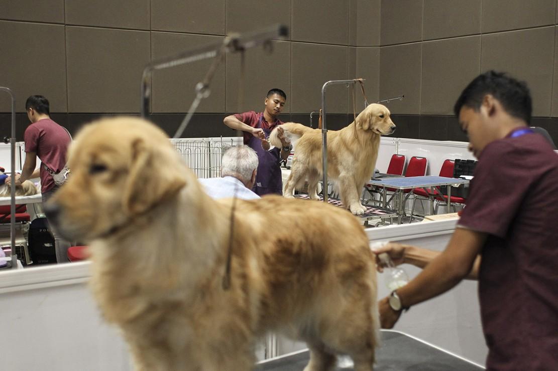 Petugas Merawat Anjing Golden Retriever Pada Pameran Jakarta Indonesia Pet Show Jips  Di