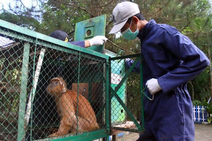 Lutung Jawa Dilepasliarkan di Javan Langur Centre Coban Talun