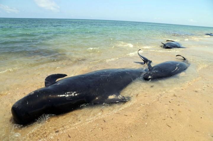 Belasan Paus Pilot Terdampar di Pulau Sabu NTT