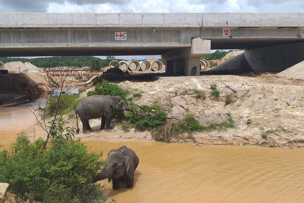 Sejumlah gajah sumatera (elephas maximus sumatranus) melintasi Sungai Tekuana di bawah terowongan gajah yang dibangun di seksi 2 Tol Pekanbaru-Dumai (Permai), Riau, pada 10 Februari 2020.