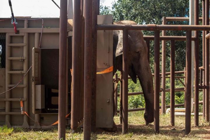 Mara, Gajah Eks Sirkus di Argentina Kini Punya Rumah Baru