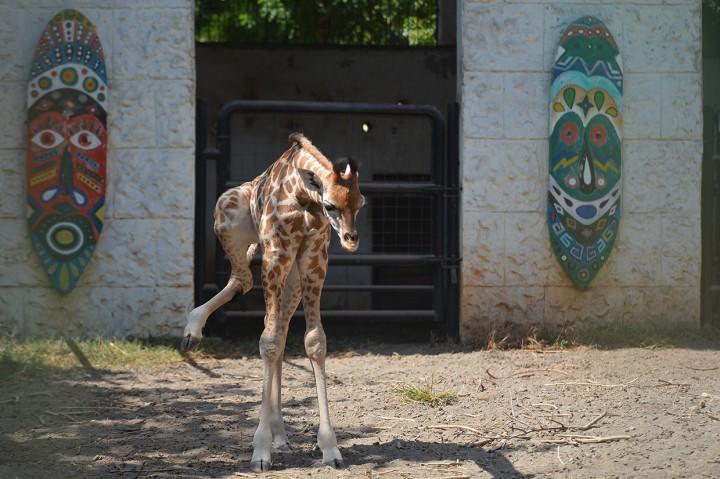 Bayi Jerapah Lahir di Maharani Zoo Lamongan