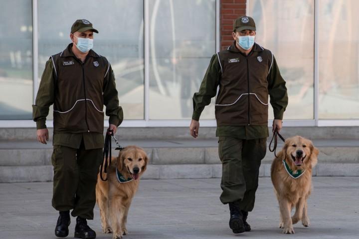 Polisi Chile Latih Anjing untuk Deteksi Pasien Covid-19