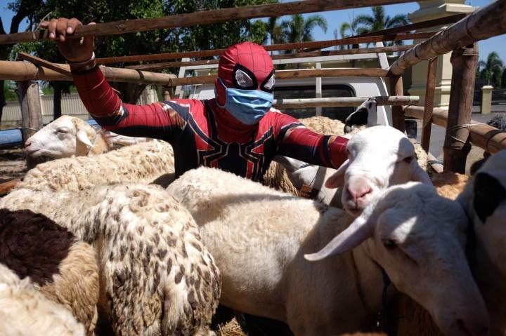 Ketika Spider-Man Salurkan Hewan Kurban ke Rumah Singgah