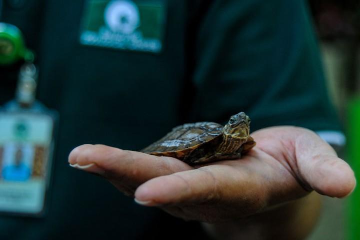 Koleksi Kura-Kura Ceper Kebun Binatang Bandung Bertambah