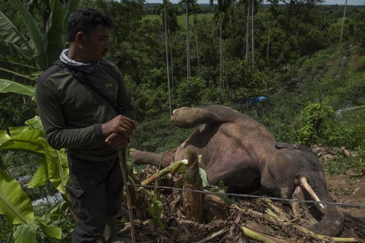 Gajah Liar Ditemukan Mati di Pidie
