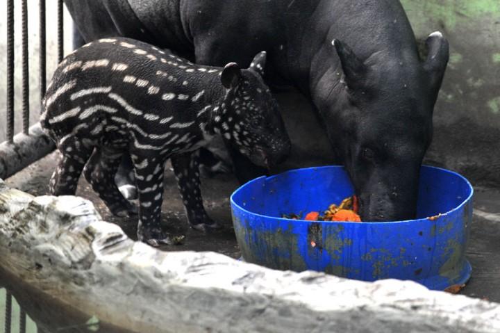 Anak Tapir Lahir di Kebun Binatang Jambi