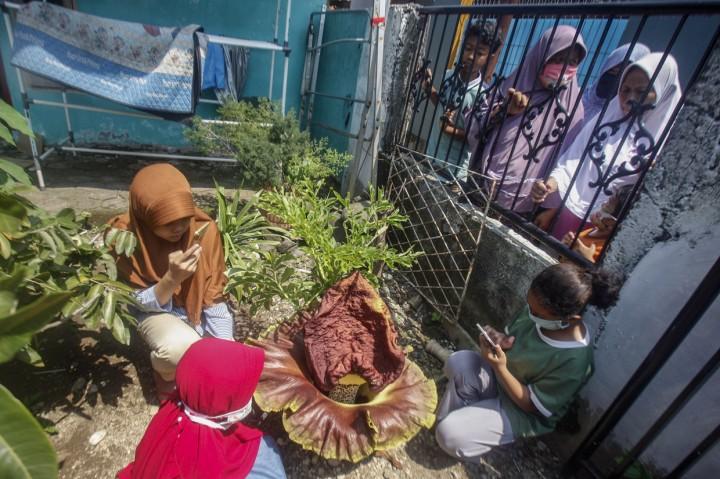 Penampakan Bunga Bangkai yang Mekar di Halaman Rumah Warga Bogor