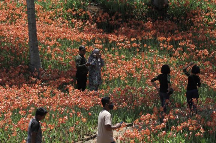Menikmati Keindahan Kebun Bunga Amarilis di Gunungkidul