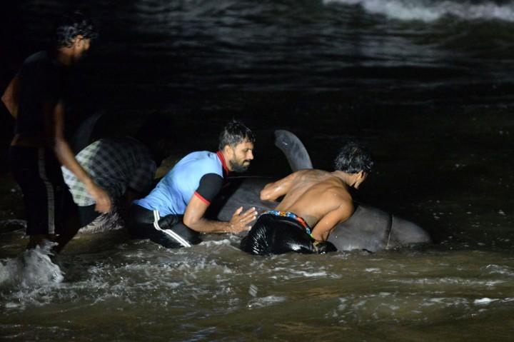 Sri Lanka Selamatkan 120 Paus Terdampar