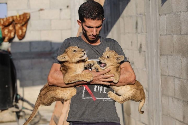 Pria Palestina Pelihara Anak Singa di Atap Rumahnya