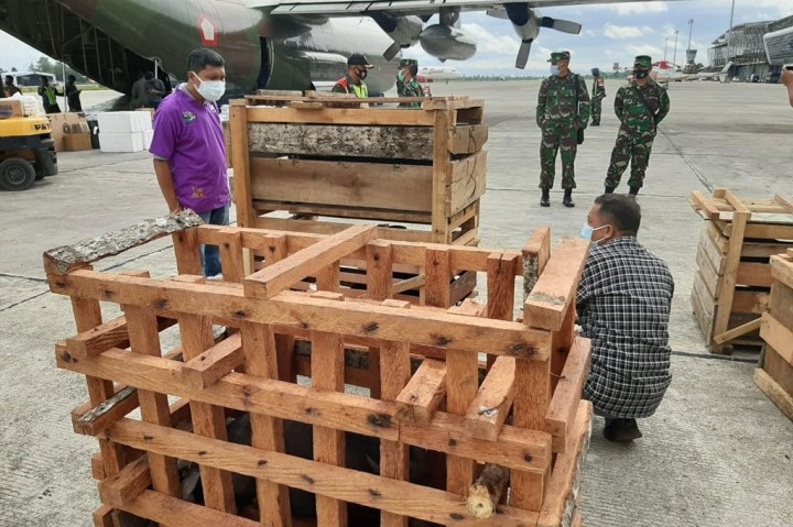 Panglima TNI Bantu 59 Babi Untuk Upacara Bakar Batu di Papua