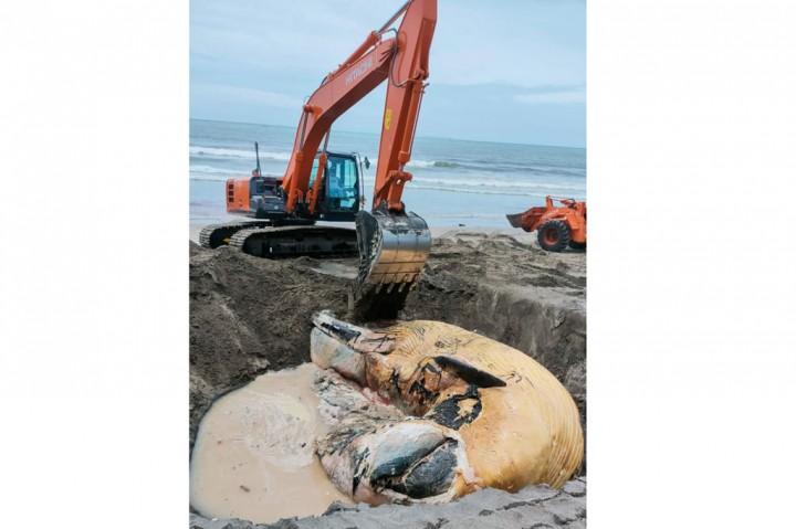 Bangkai Paus Terdampar di Pantai Batu Belig Badung Dikubur