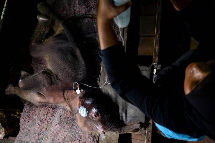 Sempat Terjebak Lumpur, Bayi Gajah Jalani Perawatan Intensif