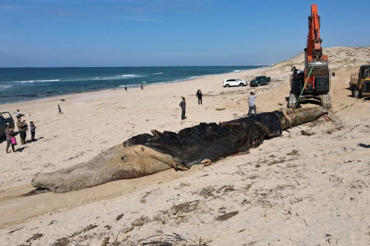 Penampakan Paus Sirip Sepanjang 17 Meter yang Mati di Pantai
