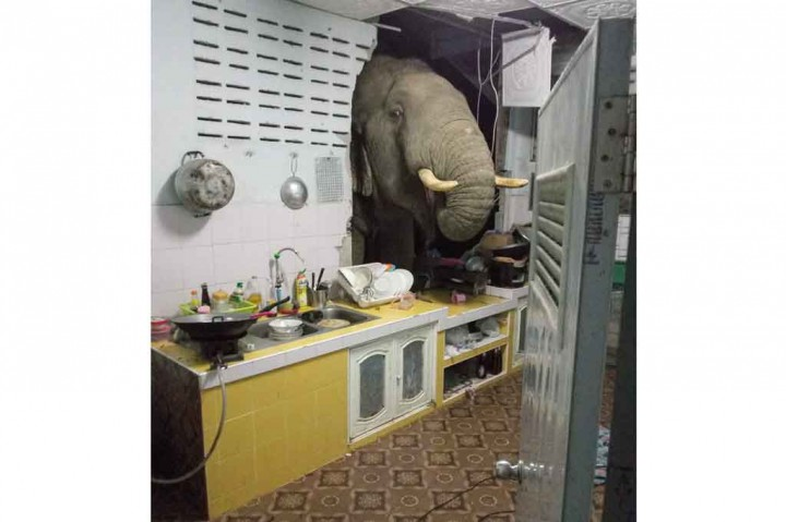 Saat Gajah Tiba-tiba Muncul di Dapur Keluarga Thailand