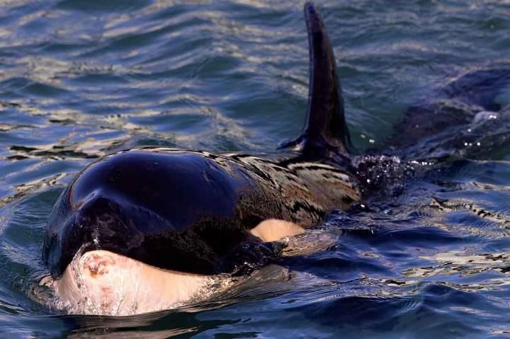 Duh, Bayi Orca di Selandia Baru Mati setelah Pencarian Induknya