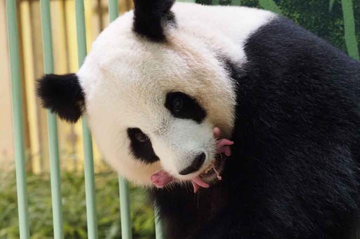 Foto: Panda di Kebun Binatang Prancis Lahirkan Bayi Kembar