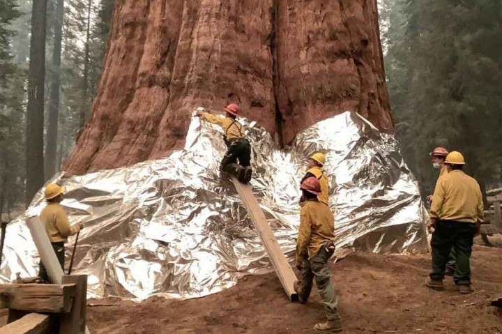 Melihat Perjuangan Petugas Pemadam AS Lindungi Pohon Terbesar