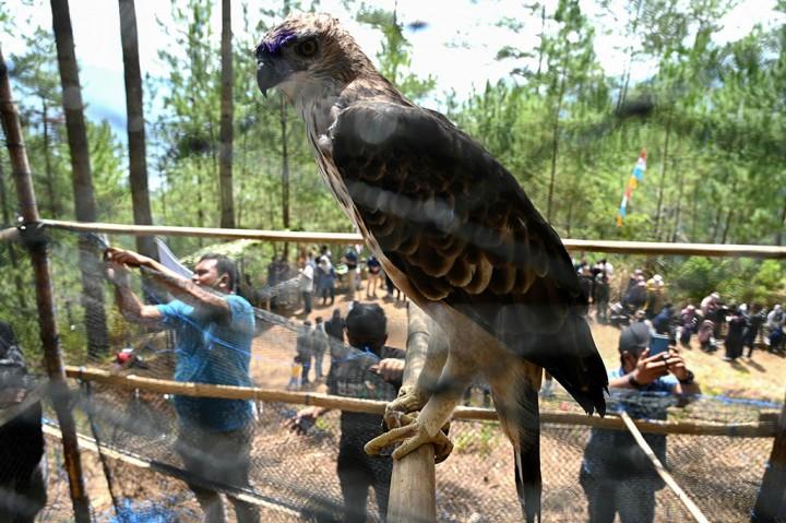 Potret Pelepasliaran Enam Burung Elang Brontok di Aceh Tengah