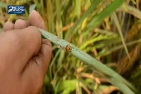 Ratusan Hektare Padi Diserang Hama Wereng