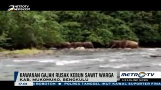 Kawanan Gajah Liar Rusak Ratusan Hektare Kebun Sawit di Mukomuko