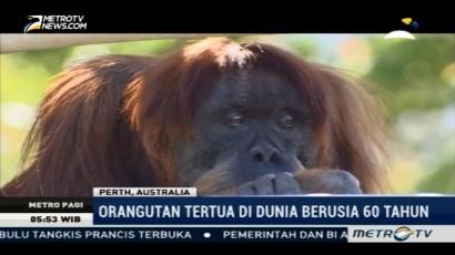 Orangutan Tertua di Dunia Berusia 60 Tahun