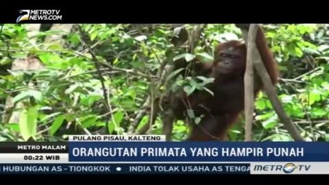 BOS Foundation Lepasliarkan 12 Orangutan ke Pulau Salat