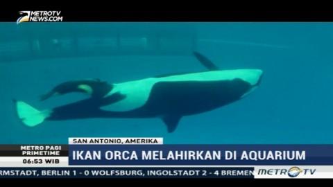 Kelahiran Bayi Paus Orca Disambut Gembira Pengunjung SeaWorld