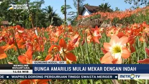 Kebun Bunga Amarilis Kembali Berkembang