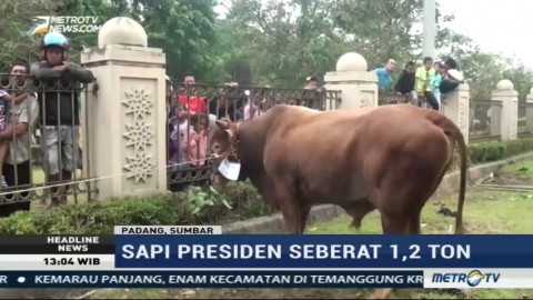 Jokowi Berkurban Sapi 1,2 Ton di Padang