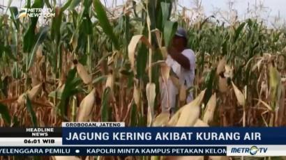 Kemarau, Petani Jagung di Grobogan Merugi